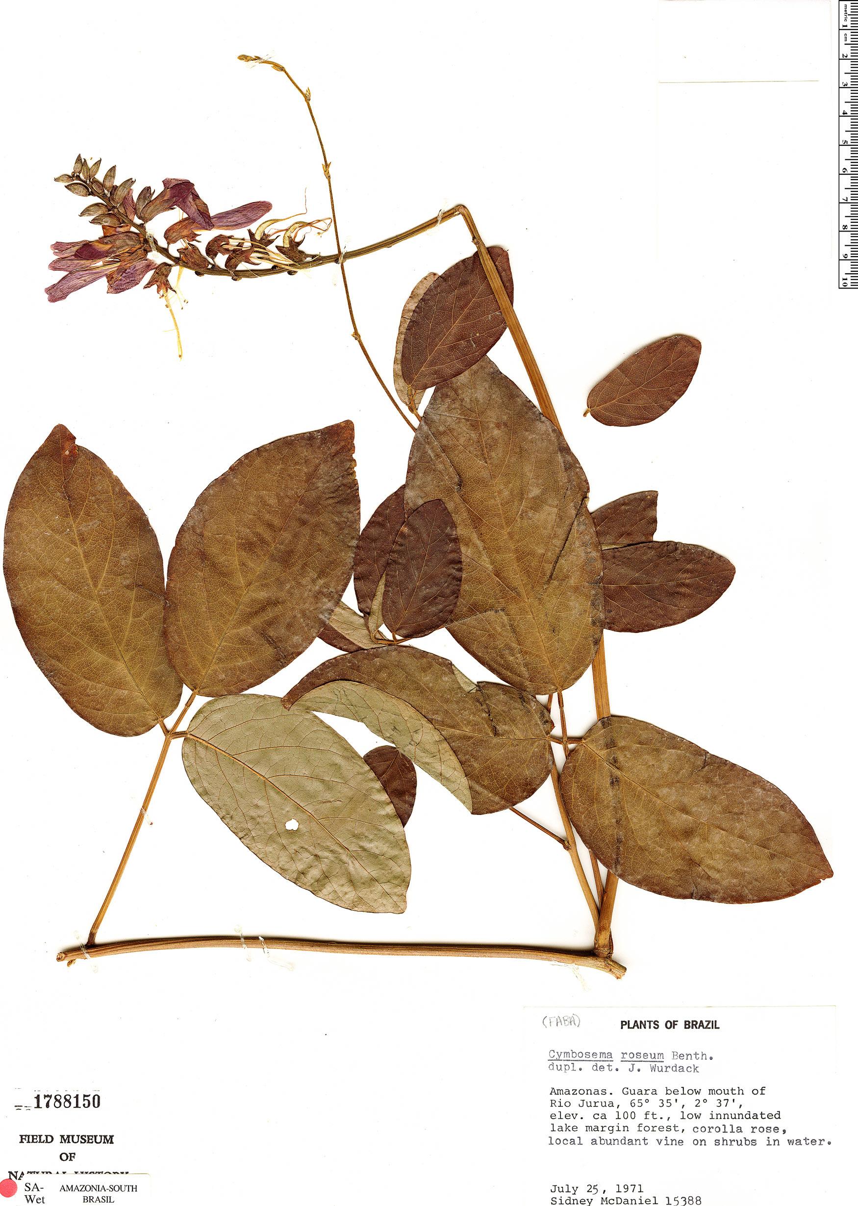 Specimen: Dioclea rosea