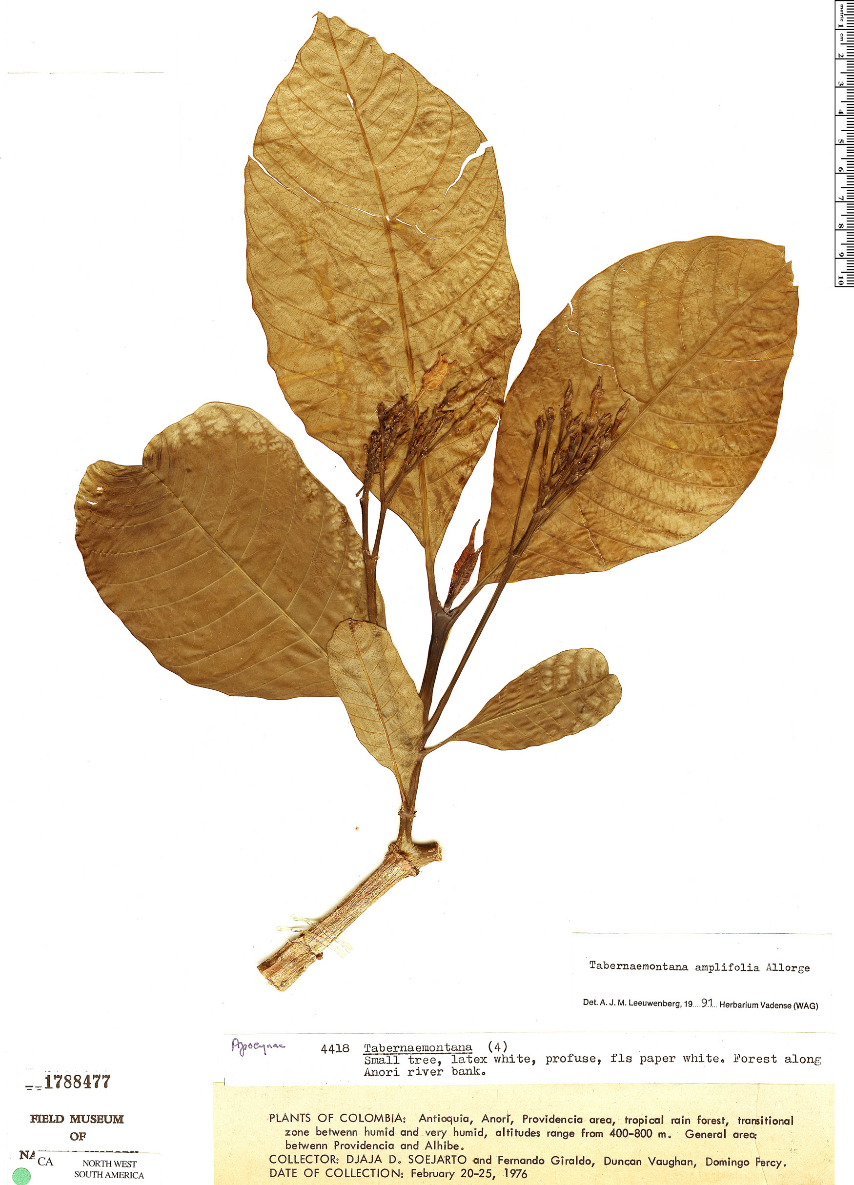 Specimen: Tabernaemontana amplifolia
