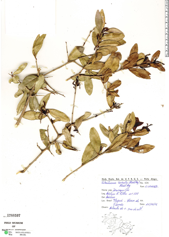 Specimen: Sebastiania serrata
