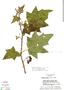 Solanum acerifolium image