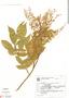 Paullinia carpopodea, Brazil, G. G. Hatschbach 19201, F