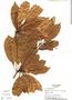 Manilkara zapota (L.) P. Royen, Panama, T. B. Croat 17158, F