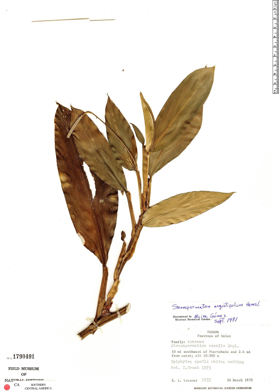 Specimen: Stenospermation angustifolium
