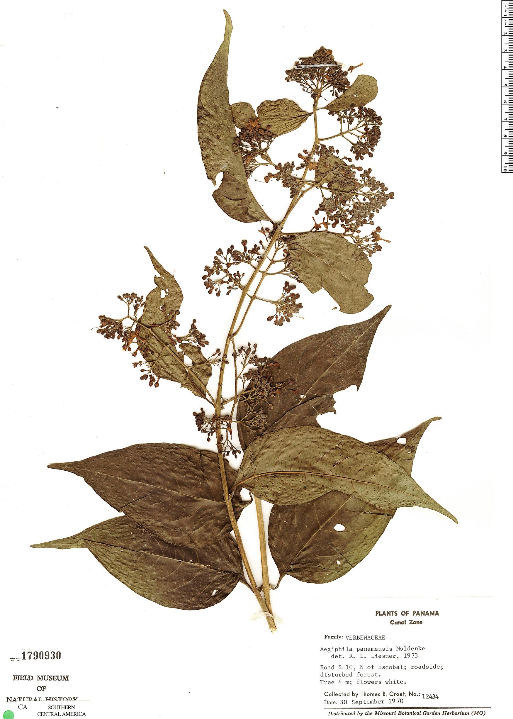 Aegiphila panamensis image