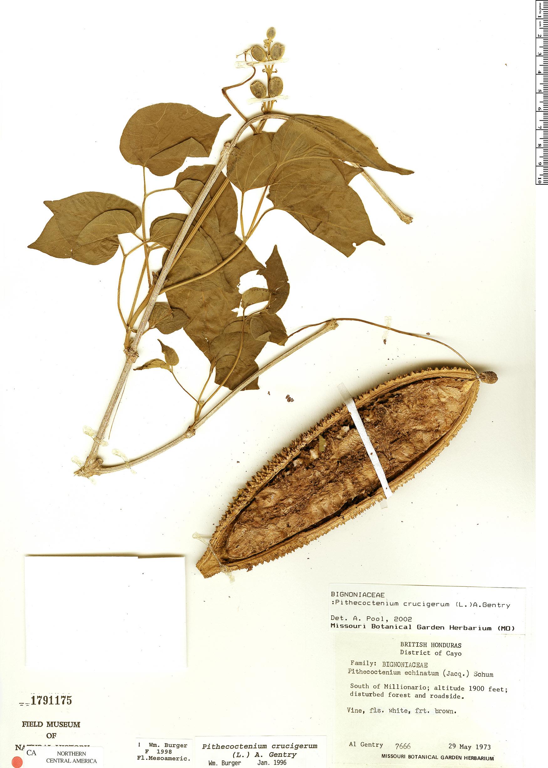 Specimen: Amphilophium crucigerum