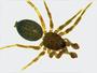 Anthrobia acuminata male habitus