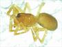Anthrobia acuminata female habitus