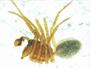 Scironis tarsalis male habitus