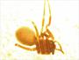 Scotinotylus vernalis female habitus