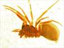 Thyreostenius parasiticus female habitus