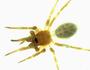 Walckenaeria digitata female habitus