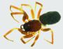 Walckenaeria directa female habitus