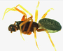 Walckenaeria directa male habitus