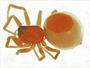 Ceraticelus alticeps female habitus