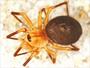 Dismodicus alticeps female habitus