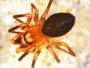 Dismodicus alticeps male habitus