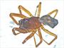 Grammonota angusta male habitus