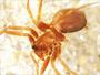 Tunagyna debilis female habitus