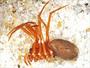 Zornella armata female habitus