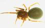Ceratinops inflatus female habitus