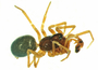 Erigone aletris male habitus
