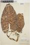 Alocasia macrorrhizos image