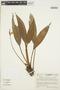 Anthurium antioquiense Engl., Colombia, R. Callejas 3256, F