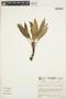 Anthurium antioquiense Engl., COLOMBIA, J. C. Betancur 632, F