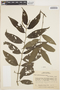 Piper gaudichaudianum image