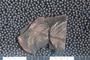 2018 Konecny Paleobotany fossil specimen Stellatheca latiloba