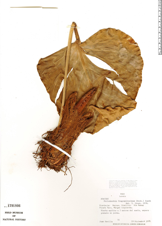 Espécime: Philodendron fragrantissimum