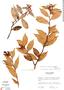 Cavendishia crassifolia (Benth.) Hemsl., Panama, R. L. Wilbur 13076, F