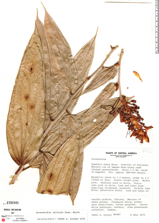Specimen: Cavendishia callista