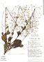 Talinum paniculatum (Jacq.) Gaertn., Peru, J. Schunke Vigo 8224, F