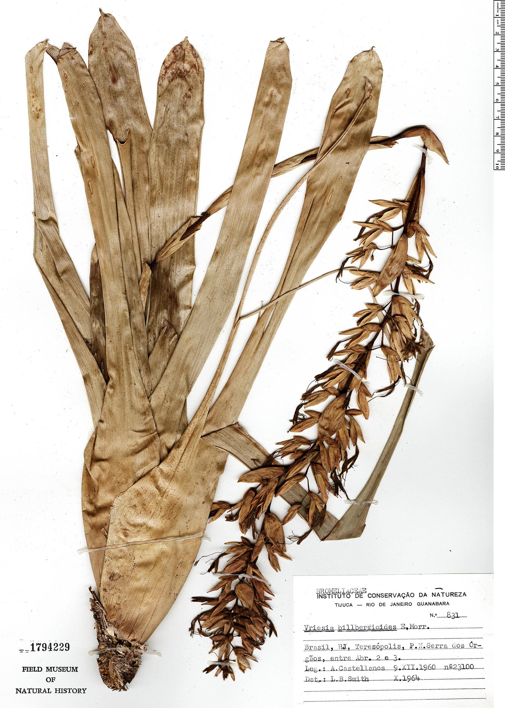 Specimen: Vriesea billbergioides