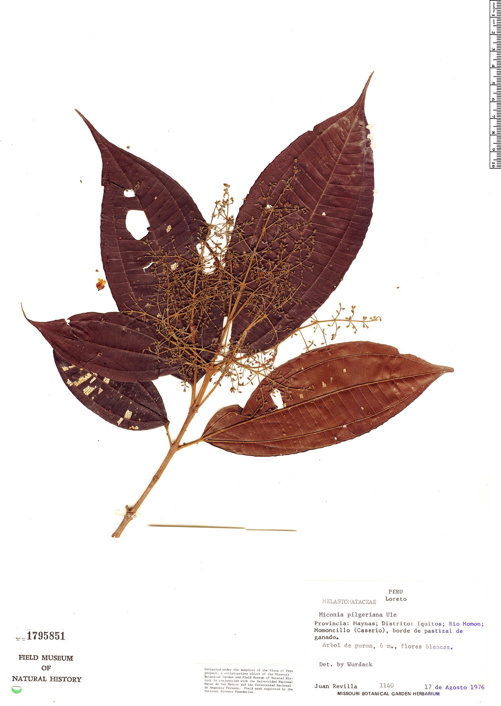 Specimen: Miconia dolichorrhyncha