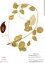 Funastrum pannosum (Decne.) Schltr., Mexico, J. Vaughan 832, F