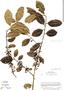 Ilex lamprophylla Standl., Costa Rica, W. C. Burger 75286, F