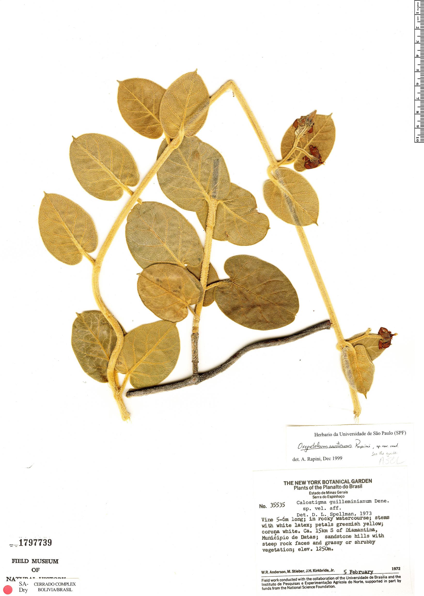 Specimen: Oxypetalum rusticum