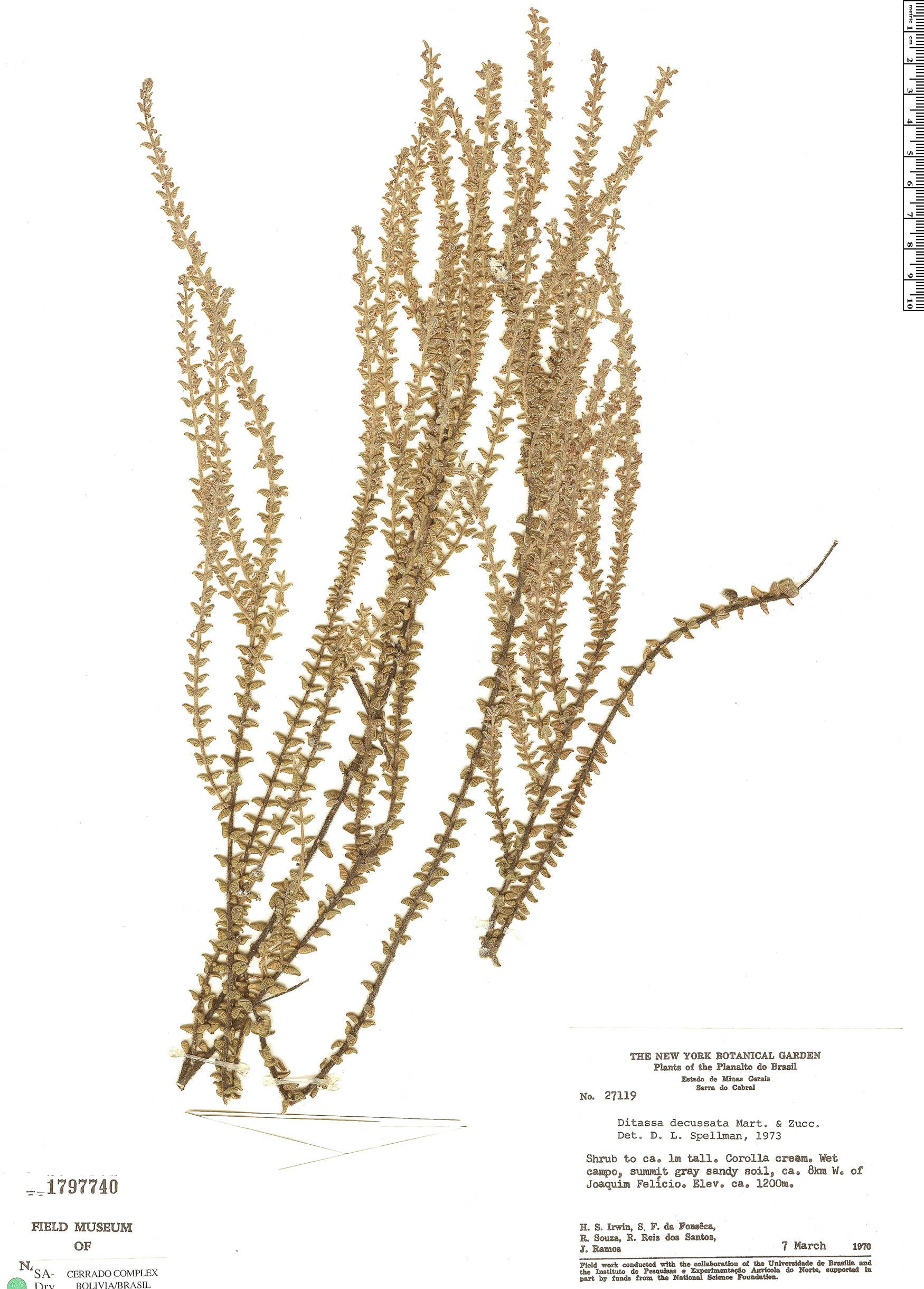 Specimen: Minaria decussata