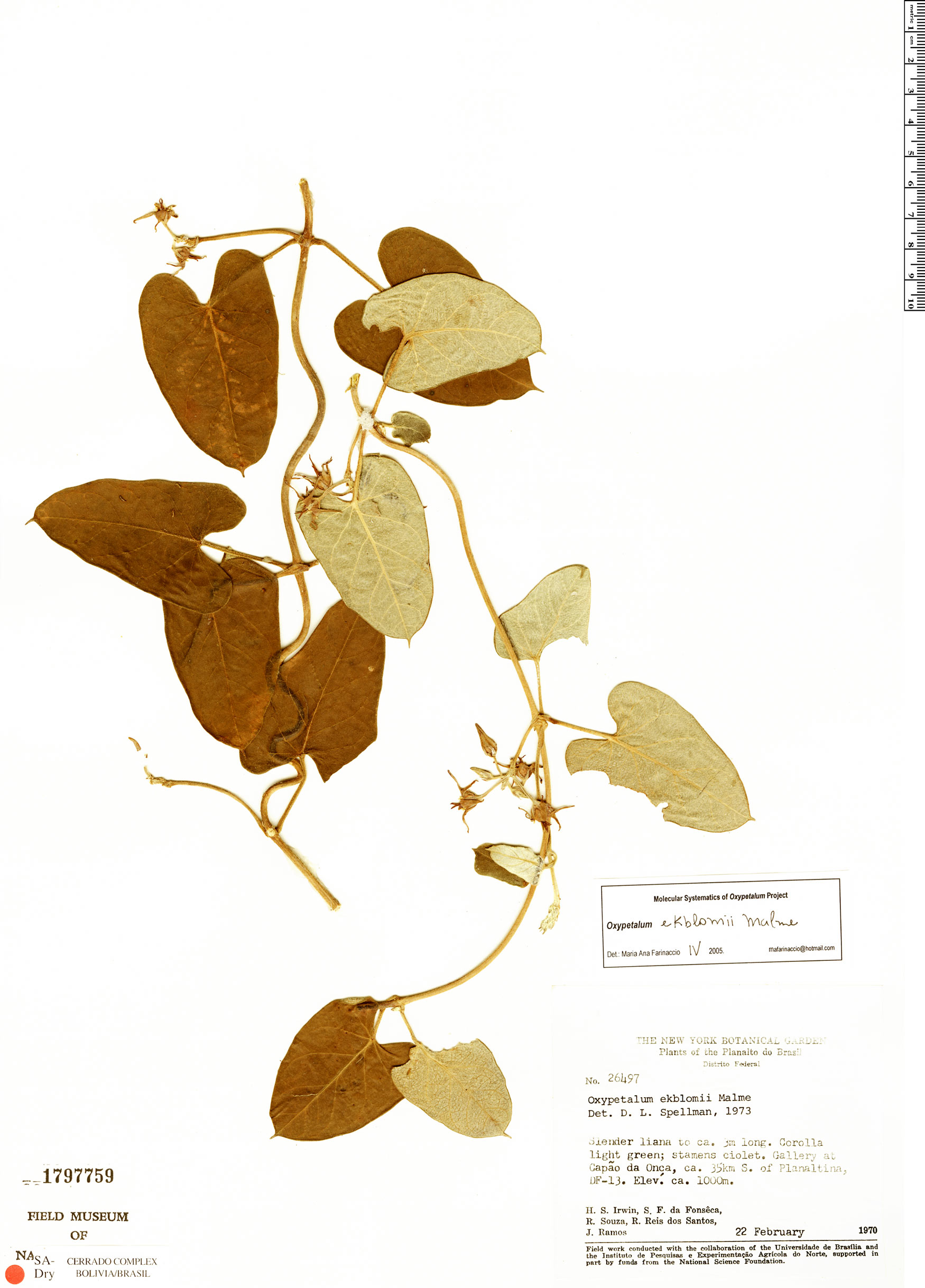 Specimen: Oxypetalum ekblomii