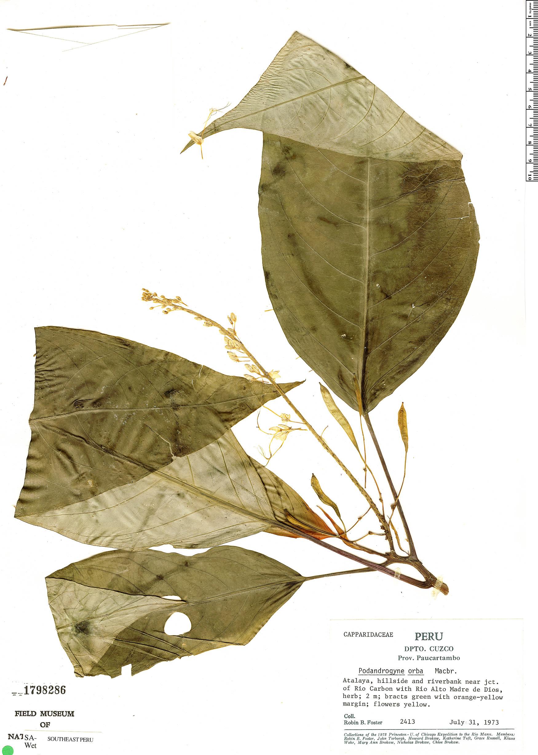 Specimen: Podandrogyne glabra