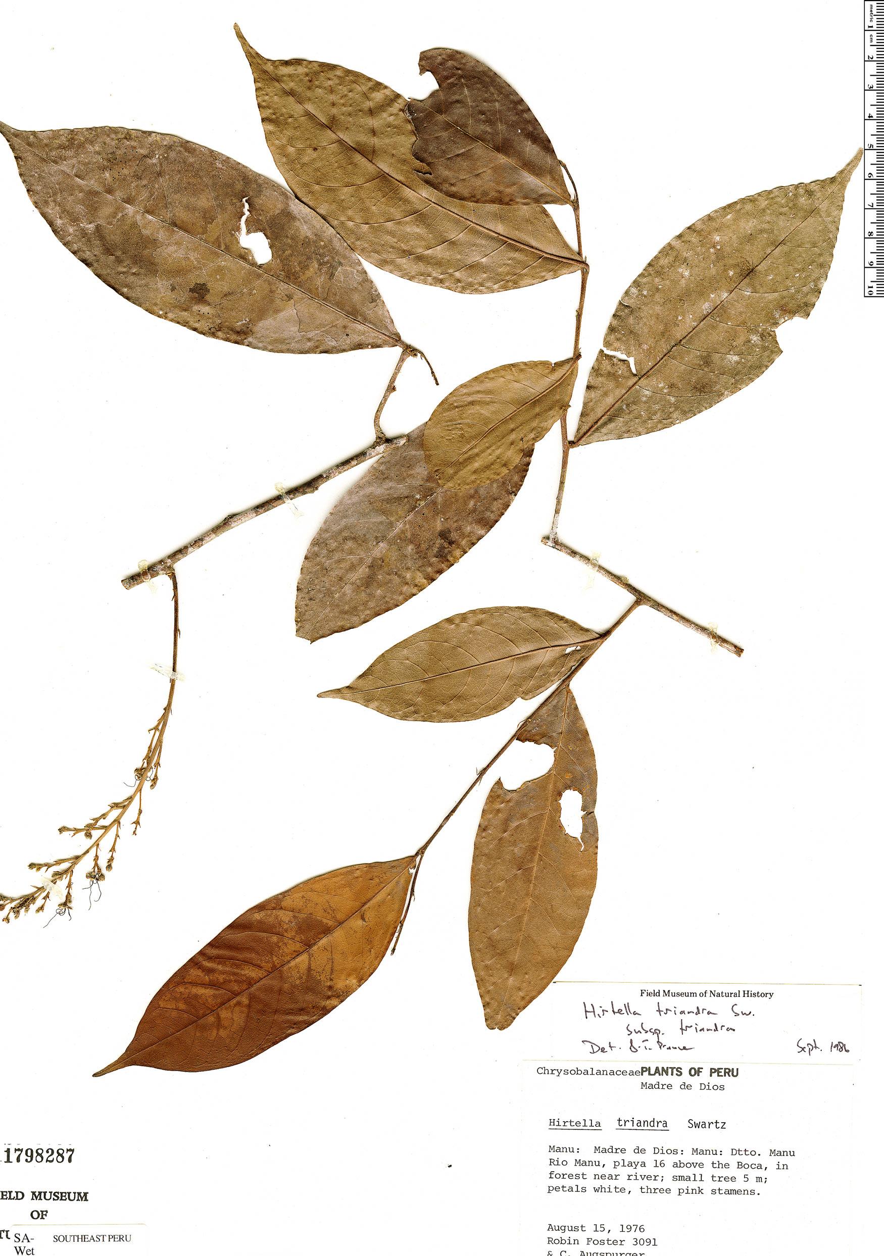 Specimen: Hirtella triandra