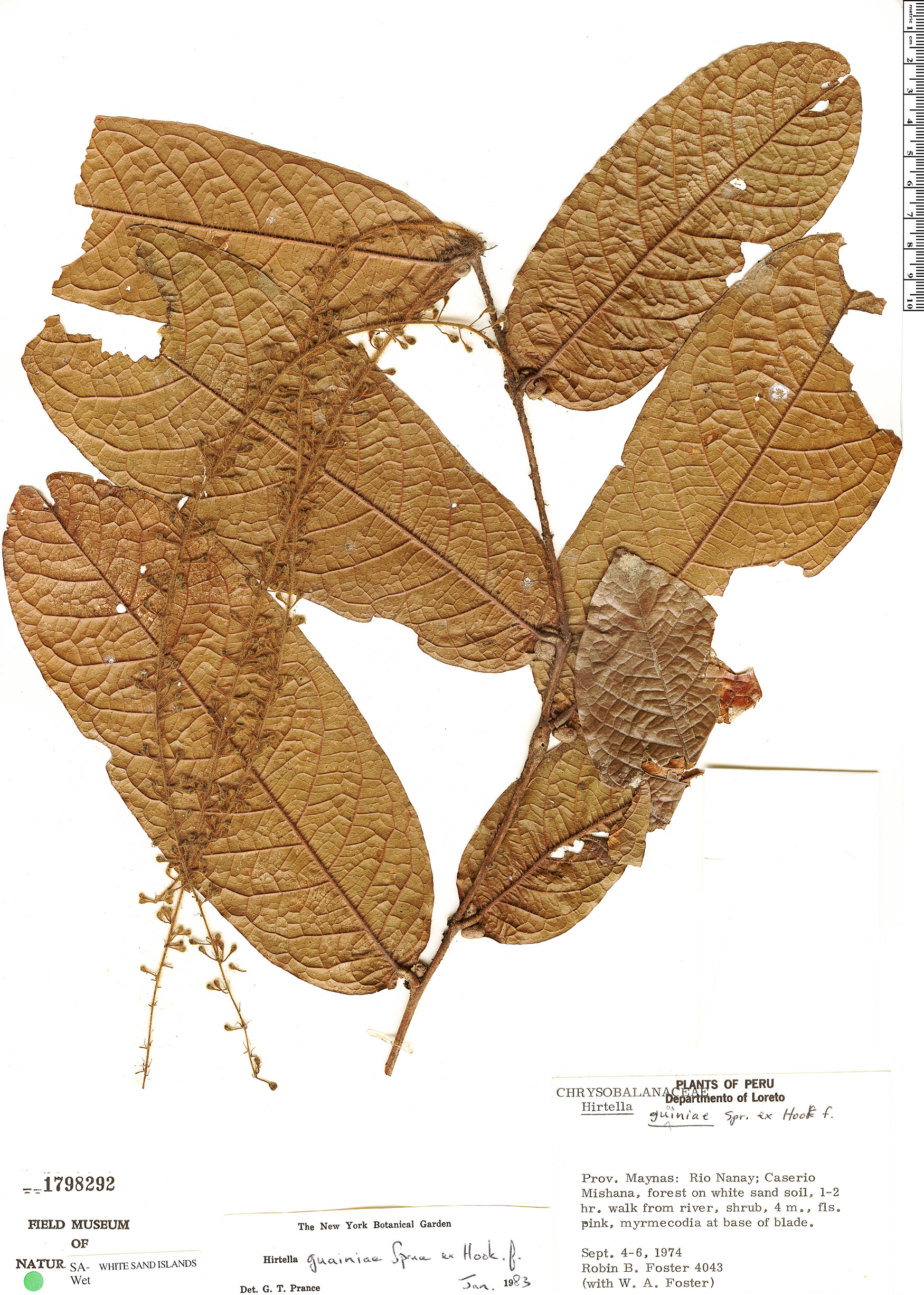 Specimen: Hirtella guainiae
