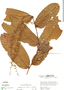 Hirtella guainiae Spruce ex Hook. f., Peru, R. B. Foster 4043, F