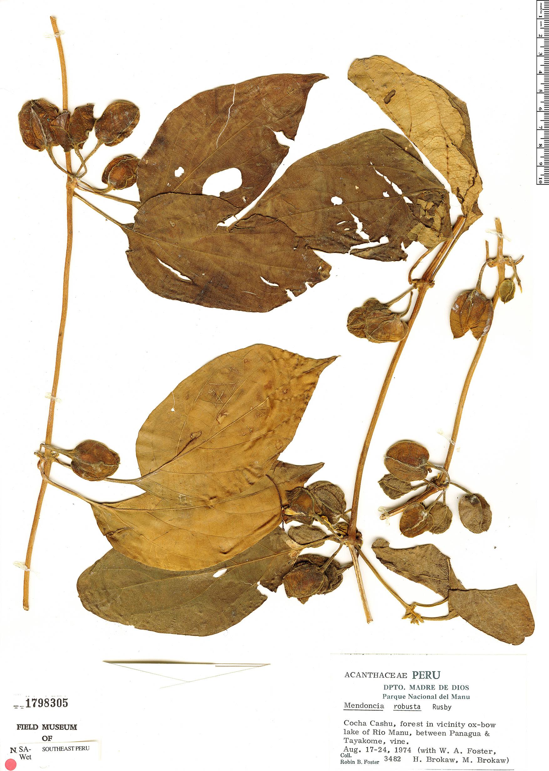 Specimen: Mendoncia robusta
