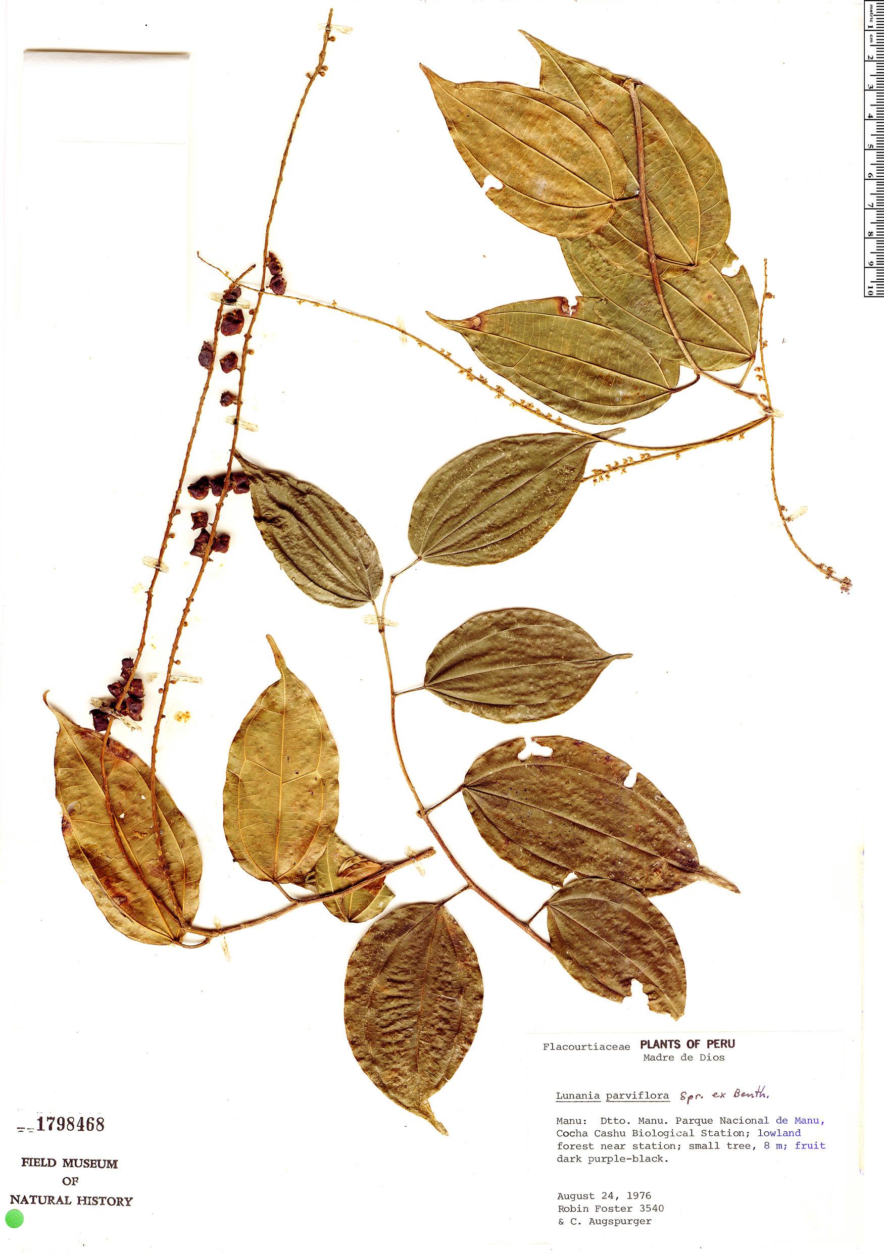 Specimen: Lunania parviflora