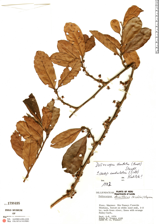 Specimen: Doliocarpus dentatus