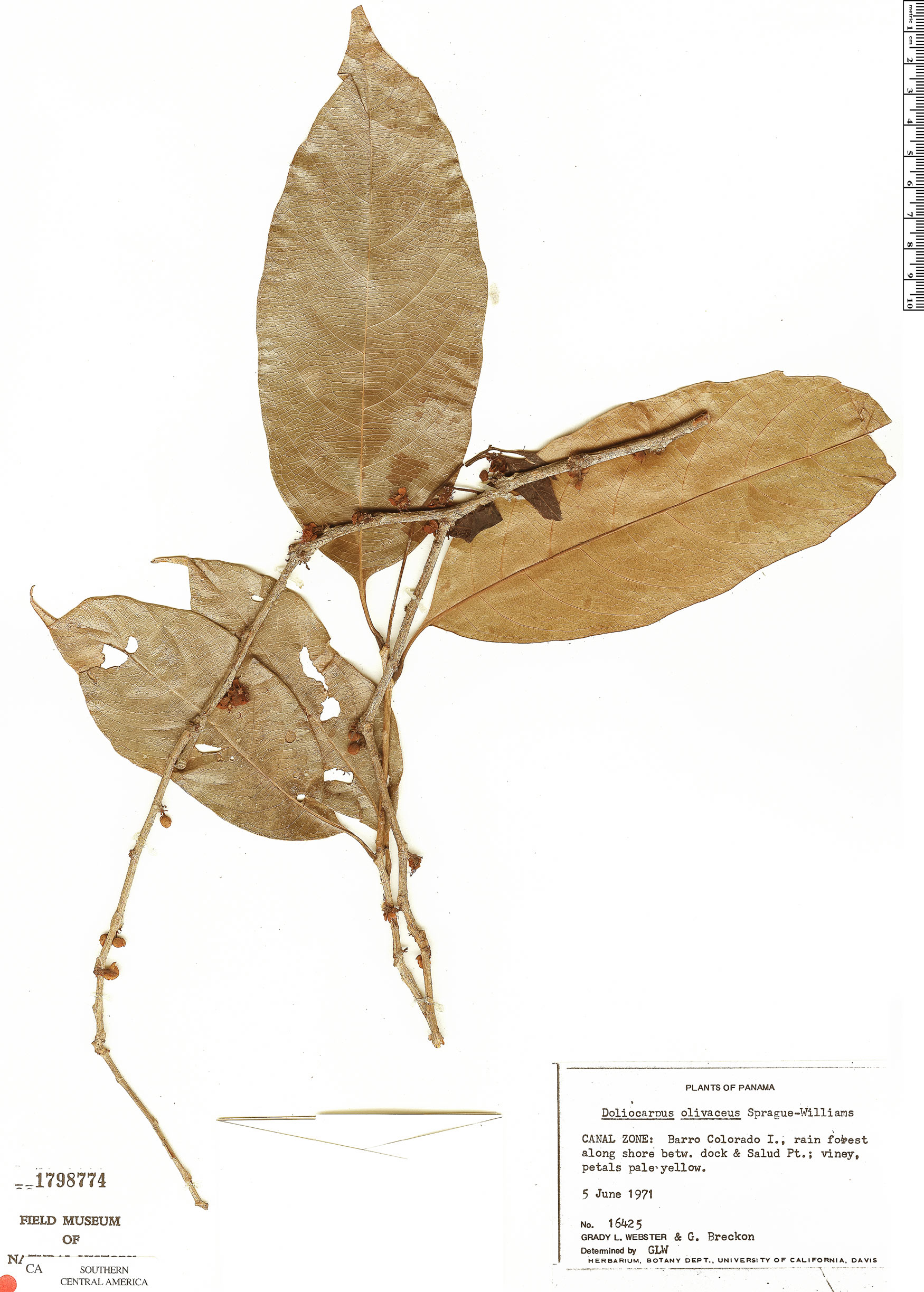 Specimen: Doliocarpus olivaceus
