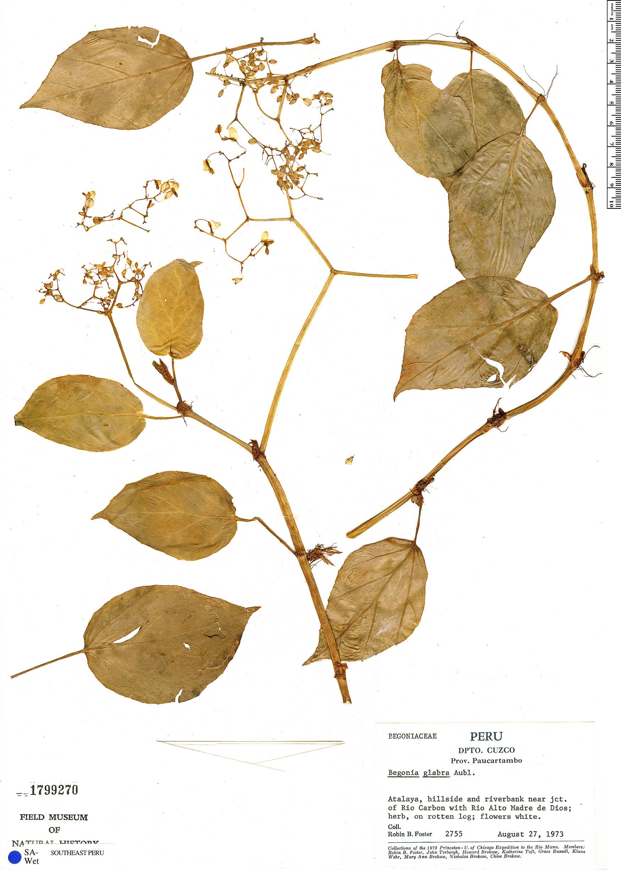 Specimen: Begonia glabra
